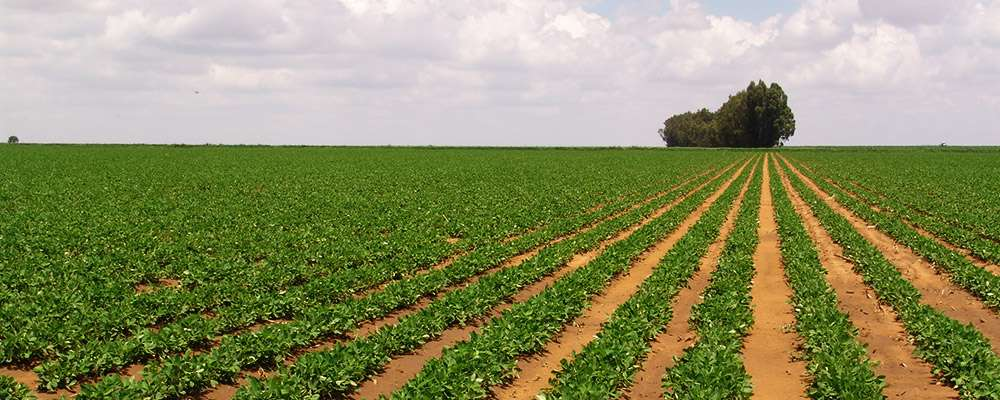 Groundnuts field